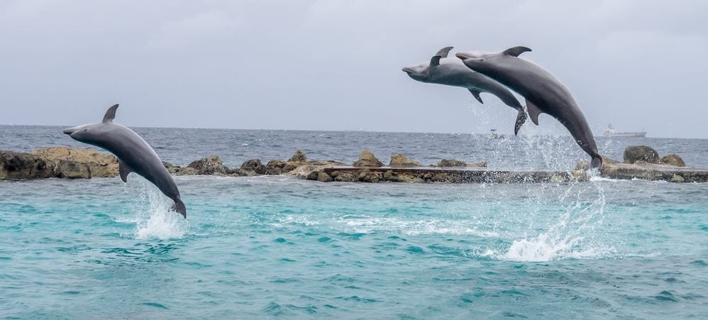 Dolphins in Curacao